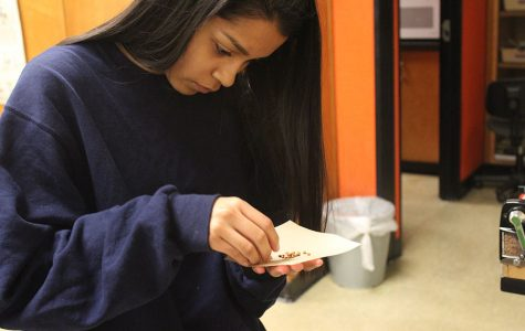 Looking through her pile of milo, senior Nancy Gonzales counts until she has a collection of fifty seeds. That day students determined the carbon dioxide rate of germinating and non germinating seeds.