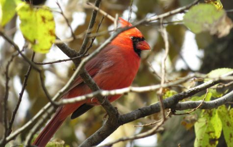 A male Northern Cardinal perches on a tree branch at Kauffman Museum in North Newton, Kansas.