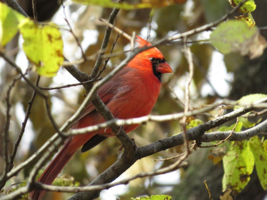 A+male+Northern+Cardinal+perches+on+a+tree+branch+at+Kauffman+Museum+in+North+Newton%2C+Kansas.